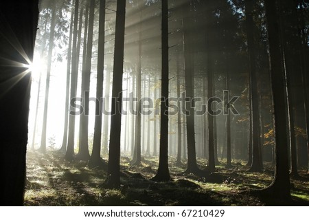 Sunlight entering the coniferous forest on a misty autumn morning. - stock photo