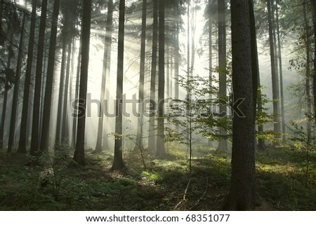 Sunlight entering the coniferous forest on a misty autumnal morning. - stock photo