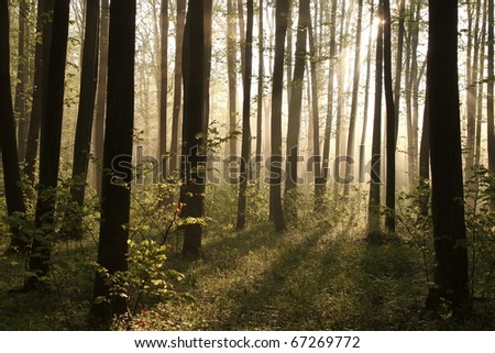 Sunlight entering the fresh deciduous forest on a foggy spring morning.