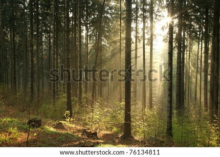 Sunlight enters the coniferous forest on a foggy spring morning.