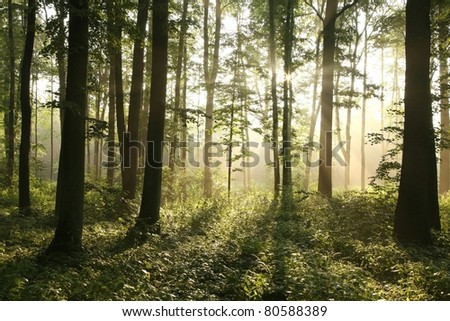 Sunlight enters the deciduous forest on a misty morning after rain. - stock photo