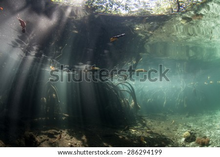 Sunlight illuminates a flooded mangrove forest during high tide. Mangroves provide vital habitat for many marine species, protect coastlines from erosion and reefs from terrestrial runoff. - stock photo