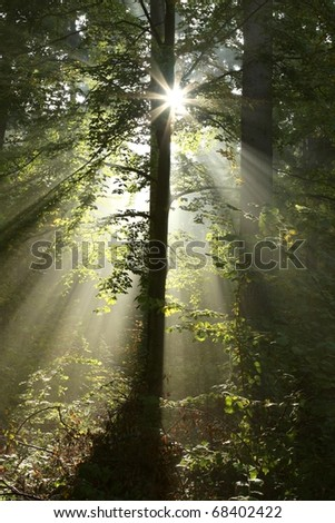Sunlight illuminates the trees in the forest on a foggy autumn morning. - stock photo