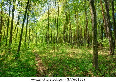Sunlight In Deciduous Forest, Summer Nature. Sunny Trees And Green Grass. Woods Background.