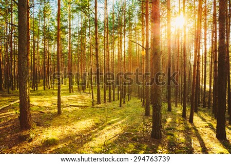 Sunlight In Green Coniferous Forest, Summer Time - stock photo