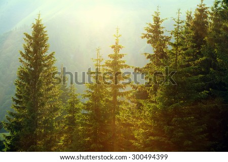 Sunlight in spruce forest in the fog on the background of mountains, at sunset - stock photo