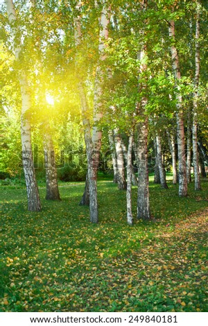 Sunlight in summer birch forest