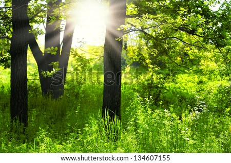Sunlight in the green forest .green forest  sunrise.Green trees in park and sunlight - stock photo