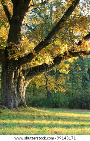 Sunlight on an old oak tree - stock photo