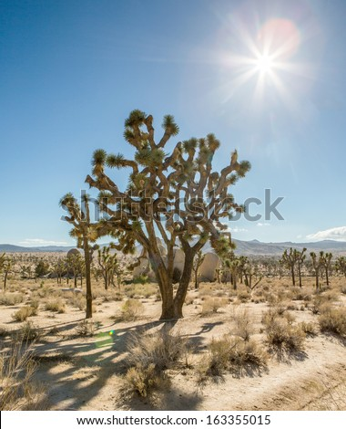 Sunlight on Joshua trees in Joshua Tree National Park, California, USA.