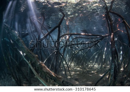 Sunlight pierces the shadows of a submerged mangrove forest in Komodo National Park, Indonesia. Mangroves act as nurseries for young marine organisms and filter runoff from coastlines. - stock photo
