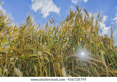 Sunlight ray passes through the wheat at cultivated wheat field with a blue sky in background - stock photo