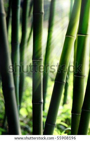 Sunlight Shining through Bamboo forest - stock photo