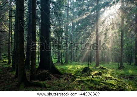 Sunlight shinning across spruce trees rain after