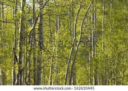 Sunlight streams through an aspen forest in summer in the Rocky Mountains - stock photo