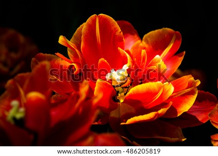 Sunlit double-flowered red and yellow tulips against dark background. Natural beauty of spring season