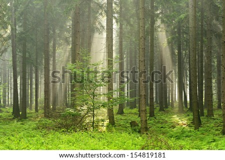 Sunlit Foggy Spruce Tree Forest  - stock photo