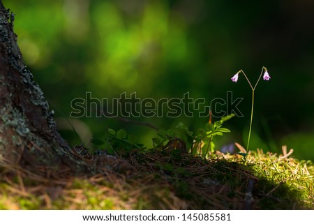 Sunlit Linnaea borealis or Twinflower in the forest - stock photo