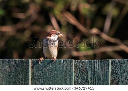 Sunlit Male House Sparrow perched on a wood fence in the  UK