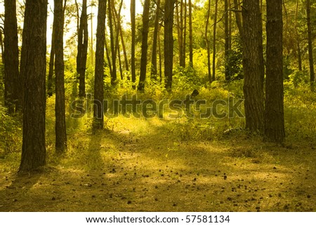 Sunlit pine forest - stock photo