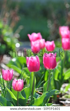 sunlit pink tulip flowers in a lush garden