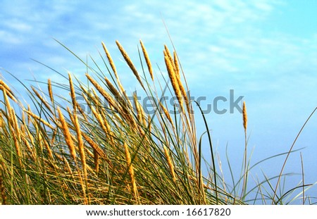 sunlit rushes moved by wind, with blue cloudy sky above - stock photo