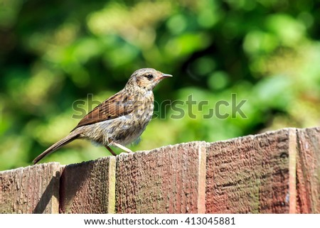 Sunlit Young Robin perched on a wood fence