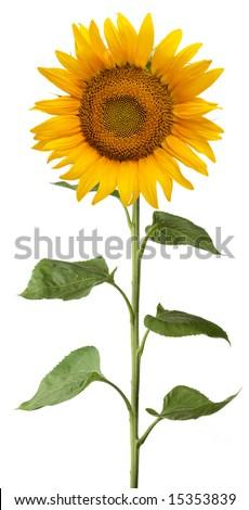 Sunlower - stock photo