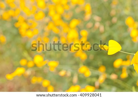Sunn hemp flower on blur yellow field background - stock photo