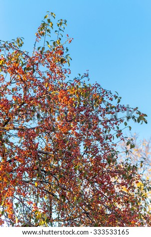 Sunny apple tree with plenty of fruits on leafless branches against blue sky background