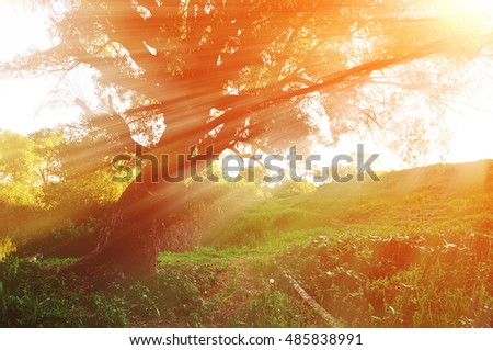 Sunny autumn landscape in the autumn forest with evening sunlight breaking through the branches of old curved tree