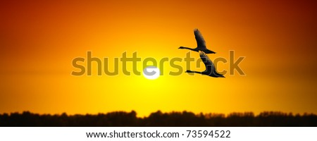 Sunny banner with swans - stock photo