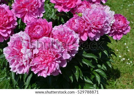 Sunny beautiful pink peony flowers in the garden