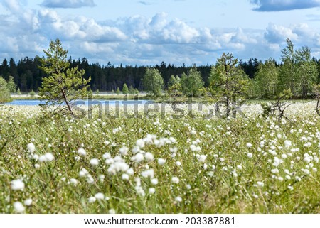 Sunny beauty day at swampy river bank with cotton-grass, Karelia - stock photo