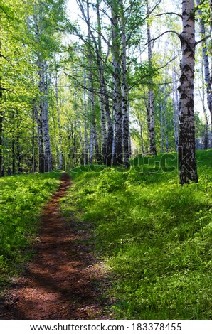 Sunny birch forest at spring - stock photo