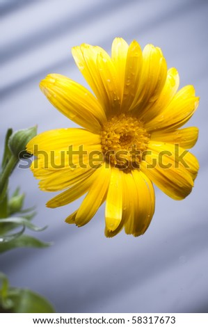 Sunny calendula - stock photo
