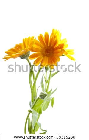 Sunny calendula on the white - stock photo