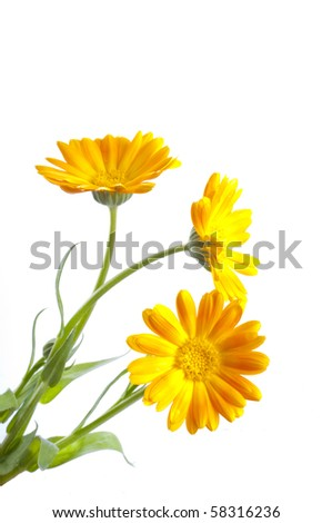 Sunny calendula on the white - stock photo