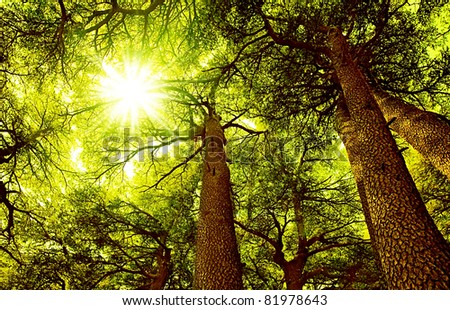 Sunny Cedar forest background, old rare trees, sunrise with rays of sun light coming through the branches - stock photo