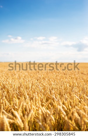 Sunny day and blue sky in the golden wheat field. Selective focus. Toned image.