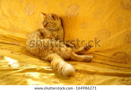 sunny day animal, bright red hair disheveled cat with a bushy tail, sitting on an orange couch - stock photo