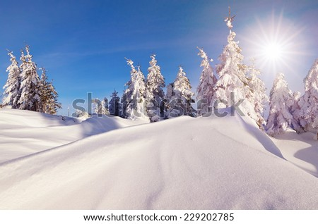 Sunny day in a mountain forest. Winter landscape. Fir trees under the snow and snowdrifts - stock photo