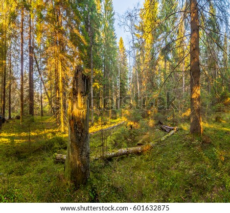 Sunny day in the fir forest. Autumn Landscape, Panorama.