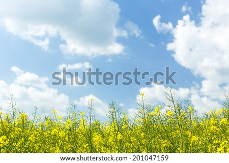 Sunny day on north Polands fields.Pomerania province/Rape field - stock photo