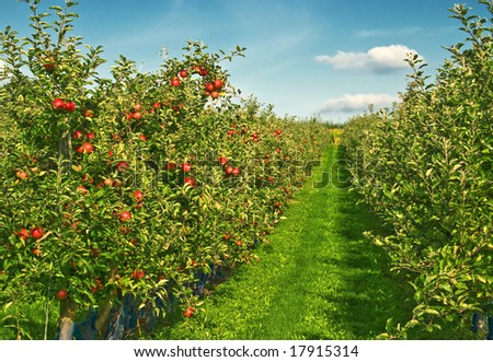 sunny day on the apples field - stock photo