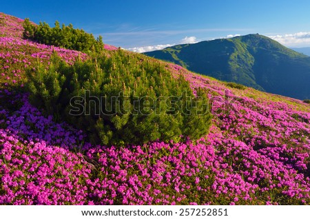 Sunny day. Summer landscape with flowers. Blooming rhododendron. Carpathians, Ukraine, Europe - stock photo