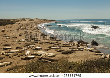 Sunny day with blue sky and pacific ocean water, elephant seals laying on the sand beach, swimming in the water, - stock photo