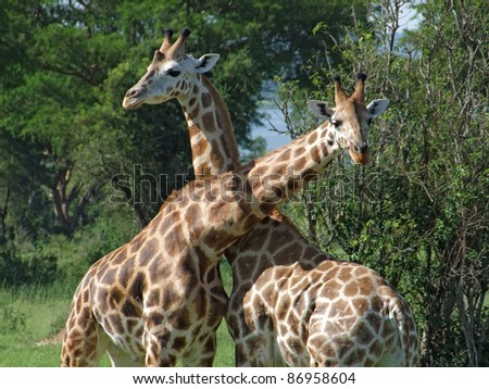 sunny detail of some Rothschild Giraffes at fight in Uganda (Africa) - stock photo