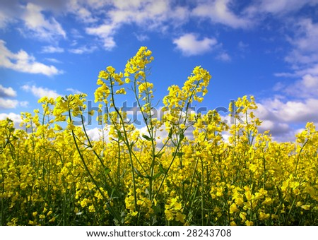Sunny field of canola oilseed rapeseed field - stock photo