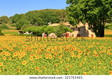 Sunny field of sunflower and distant farm in Provence, France
